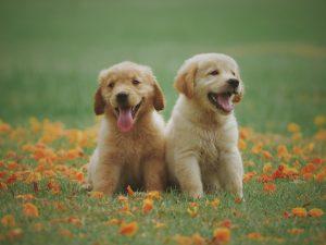 deux petits labradors blonds